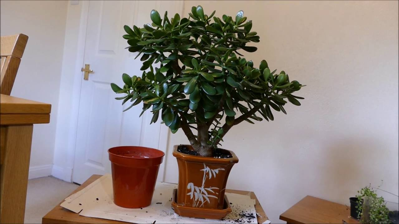 New Pot For My Jade Plant Youtube