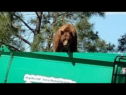 Big Bear Rides On Top Of Garbage Truck In Search Of Food
