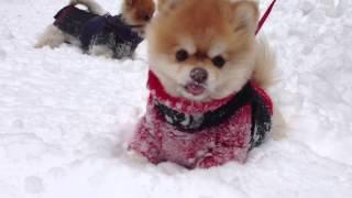 Pomeranians In The Snow Part Ii
