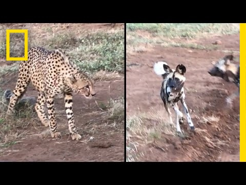 Cheetahs vs. Wild Dogs: Who Will Win This Food Fight? | National Geographic