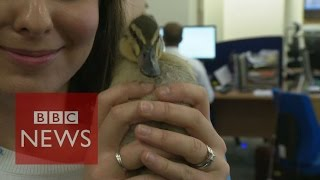 Orphaned duck loving office life - BBC News