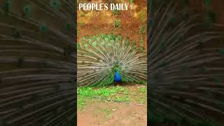 All EYES on me! #peacock