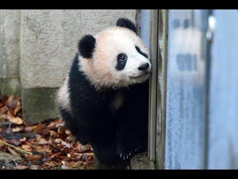 ジャイアントパンダのシャンシャン(211日齢)の映像