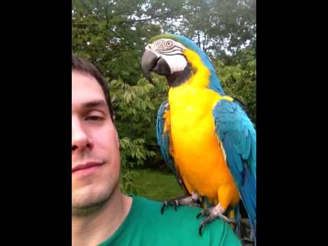 Rachel Parrot on shoulder, talking and jabbering (Macaw Talking, Parrot Talking)
