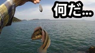 「ベラ」の泳がせ釣りに喰ってきた魔物・・・