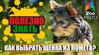 Полезно знать с ZooMISTO | Как выбрать щенка из помета?