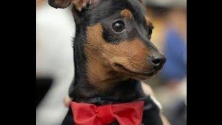 Карликовый Пинчер (miniature Pinscher). Породы собак (dog Breed)