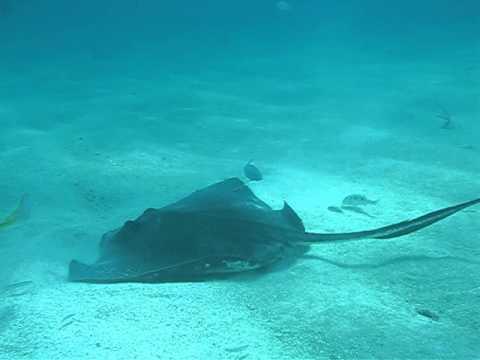 Patriot Scuba Videos | Sting Ray Florida May 2013