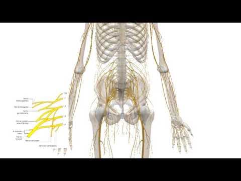 Plexo Lumbar - Anatomía Facil Descripción - YouTube