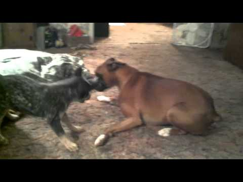 Australian cattle dog vs. boxer