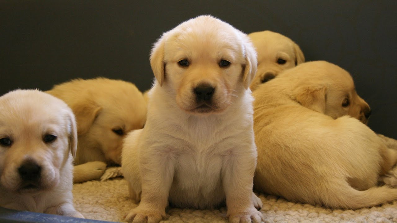 Cute Labrador Retriever 2 month old Puppies - YouTube for Cute Lab Dog Puppy  288gtk