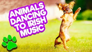 Funny Animals Dance to Irish Music    Happy St. Patrick's Day from #thatpetlife