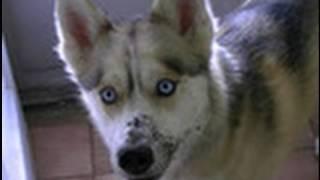 Siberian Husky Has A Bad Dog Habit Guilty Dog