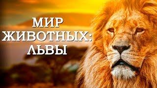 Мир Животных: Львы