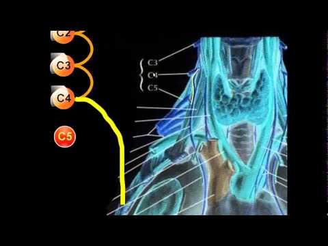 PLEXO CERVICAL | Nervio frenico - YouTube