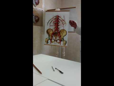 Внутренняя и наружная подвздошная артерии  Артерии нижней конечности