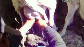 La mungitura delle pecore da latte valle del belice