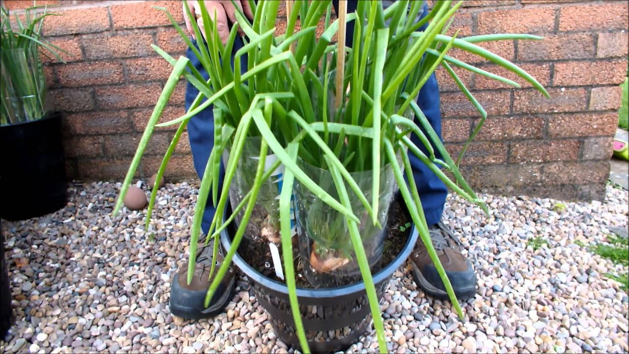 How to grow Shallots in pots, Green Onions in buckets Part ...