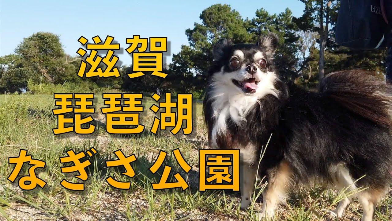 チワワ、琵琶湖のなぎさ公園で遊ぶ