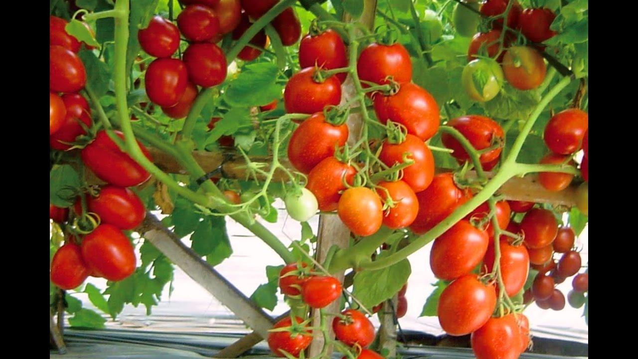 Blue Berries Tomato