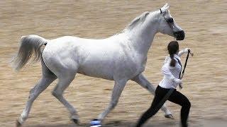 Чистокровная арабская лошадь /Конная выставка #ИППОсфера 2019 Лошади арабской породы Arabian horse