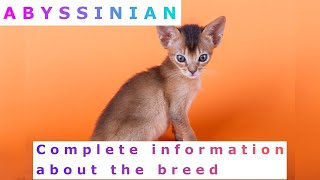 Abyssinian. Pros and Cons, Price, How to choose, Facts, Care, History