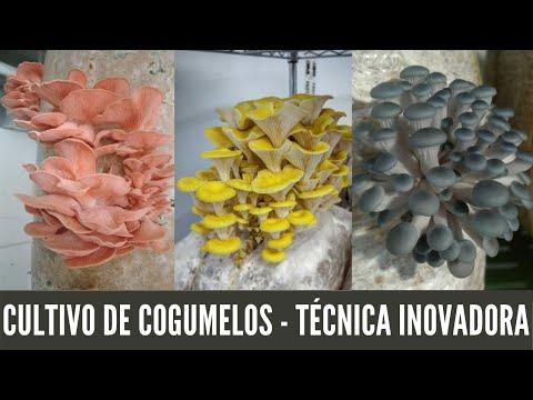 Produção de Cogumelos. Capim como Substrato. Barato e Ecológico!