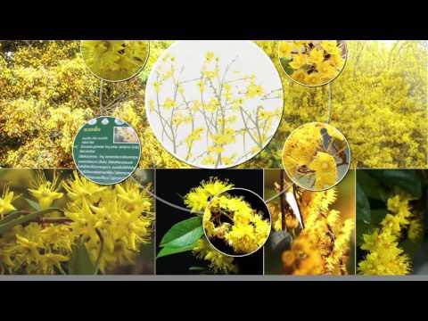 03 ต้นรวงผึ้งเฉลิมพระเกียรติ พระบารมีแผ่ไพศาล