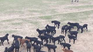 Нападение волков на гиссарских овец Ходжи Мирзокарима!