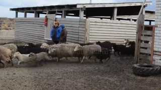 Овчарня. Строительство овчарни. Выращивание овец