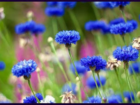 фото васильки цветов