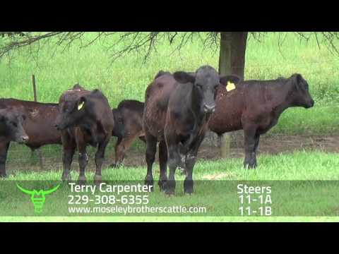 TERRY CARPENTER: AL SAFE Sale 8/4/16 - Moseley Brothers Cattle HD