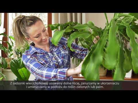 Draceny - rozmnażanie i najlepsza pielęgnacja - rośliny domowe