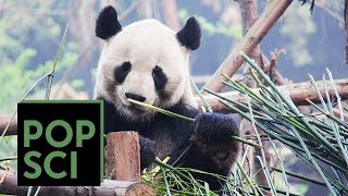 How Climate Change May Drive Pandas Extinct