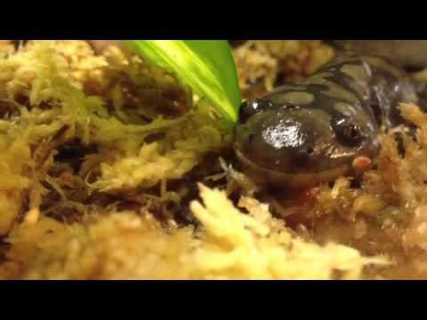 My Eastern tiger salamander (suggested vid)