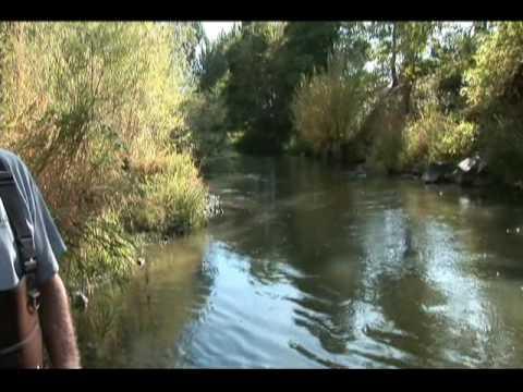 Chinook Salmon in Bear Creek down town Medford Oregon