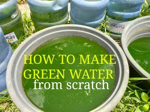 How To Make Green Water / Phytoplankton Culture / Green Water From Scratch