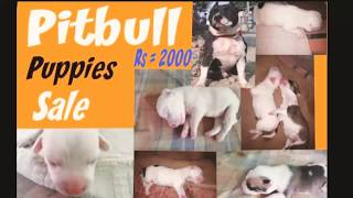 PITBULL | puppies sale | low price | Best quality |PUNJAB 2019