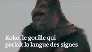 Les célèbres images de Koko, le gorille qui parlait la langue des signes Mp3