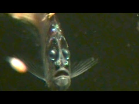 surprised looking deep sea fish with strange light organs - rare, Reel Combo