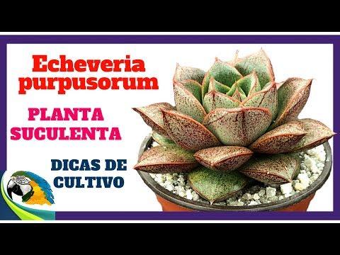 (( Echeveria Purpusorum )) - Planta Suculenta Linda De Aspecto Escultural !!