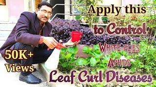 Control Leaf Curl disease using Homemade Pesticide.