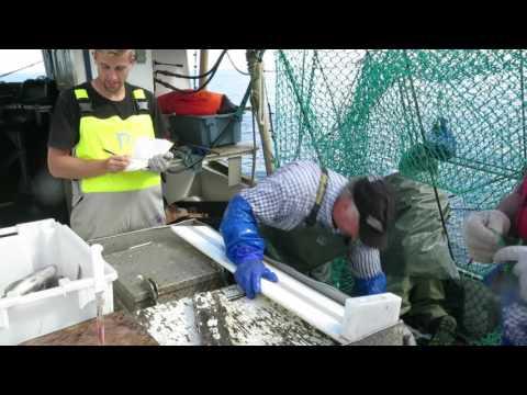 Processing cod at sea