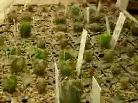 Cactus, Caudex, Succulentes,...