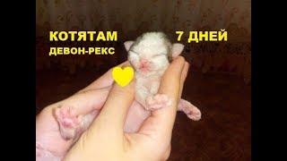 ✅ Новорожденные котята девон-рекс 7 дней