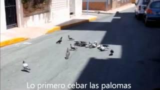 Captura de palomas con red