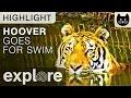 Hoover Enjoys a Swim at Big Cat Rescue - Live Camera Highlight