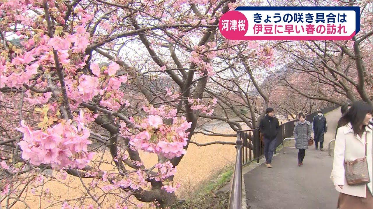 伊豆 河津 桜