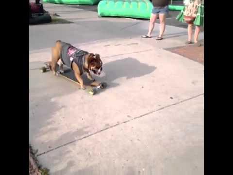 Thuggee the skateboarding dog!