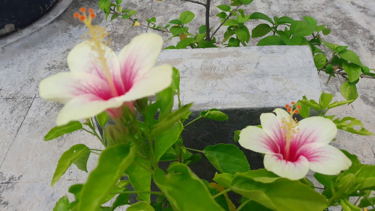 Hibiscus Flower White Pink Plant In Port Youtube